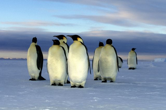 © Manchots empereurs - Antarctique - Polarnews/Oceanwide Expeditions