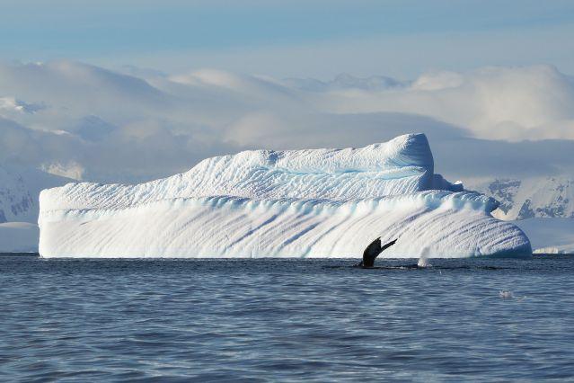 Baleine à bosse - Antarctique