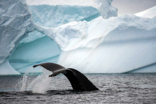 © Baleine à bosse - Antarctique - OceanWide Expeditions