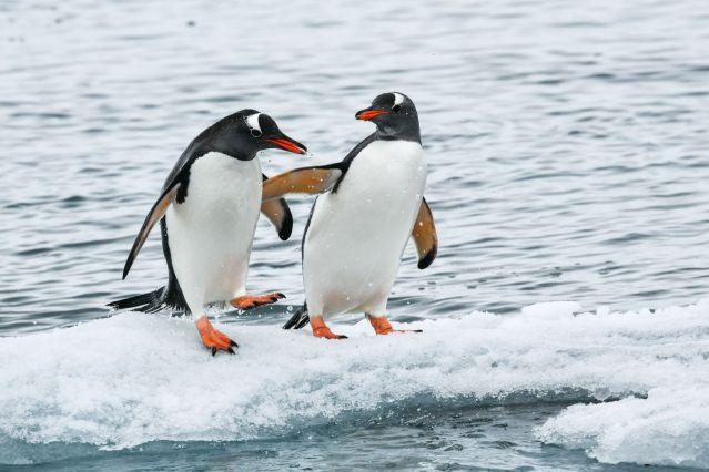 Manchots Papous - Antarctique
