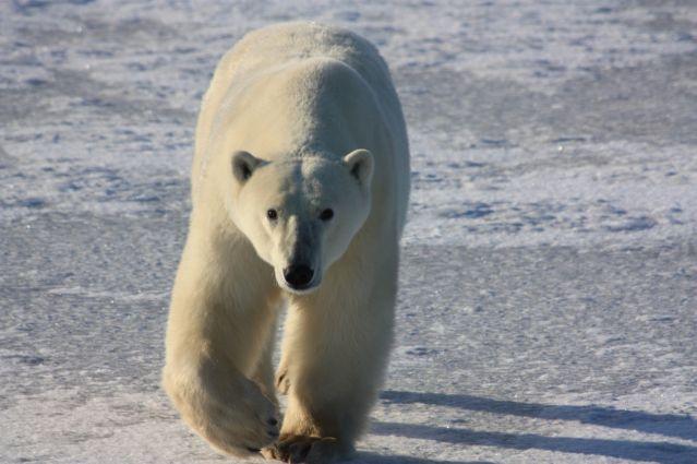 Le royaume des ours polaires