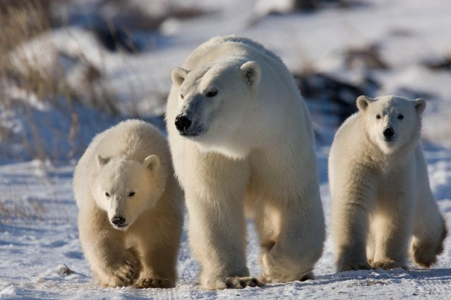 Observation des ours polaires près de Churchill - Canada