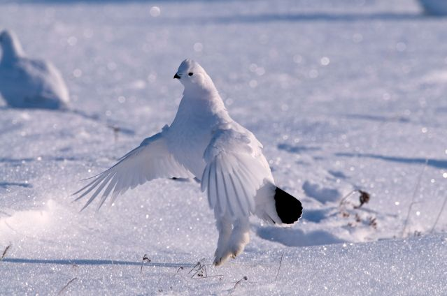 © Poule des neiges - Canada - Frieda Fast / Churchill Wild