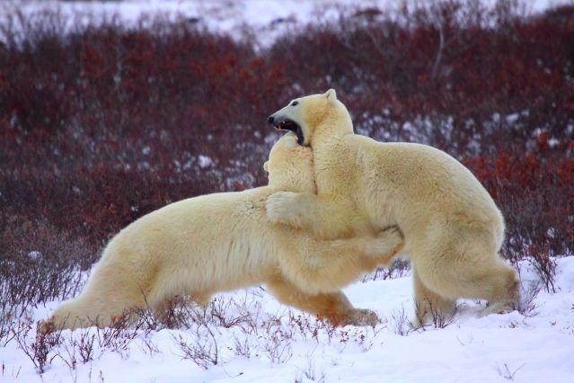 Ours polaire près de Churchill - Canada