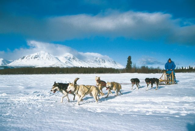 © Chiens de traineau dans le Yukon - Canada - Sky High Wilderness