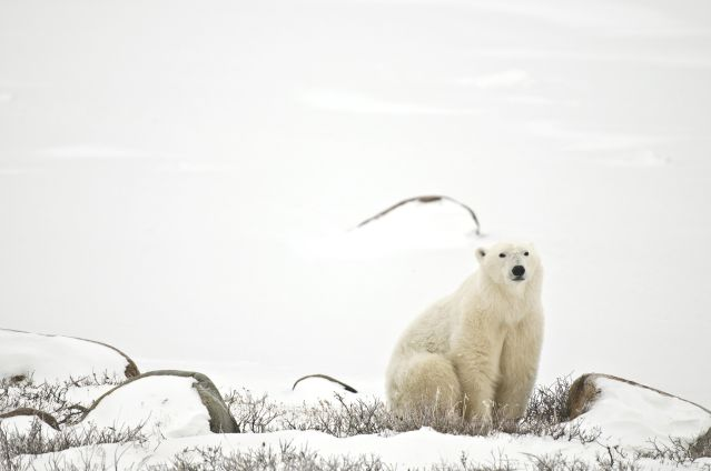 © Commission canadienne du tourisme - Ours polaire - Churchill - Manitoba - Canada