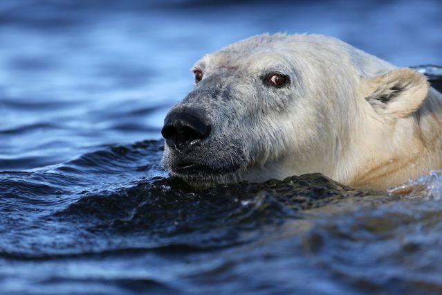 Ours et bélugas - Churchill - Baie d Hudson - Canada