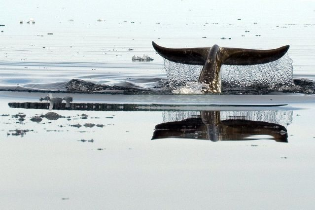 © Baleine - Nunavut - Canada - Pierre Dunnigan