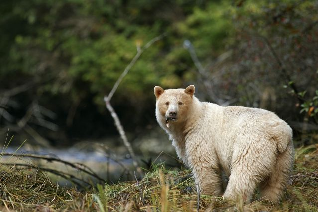 © Spirit Bear Lodge - Ours Kermode - Colombie-Britannique - Canada