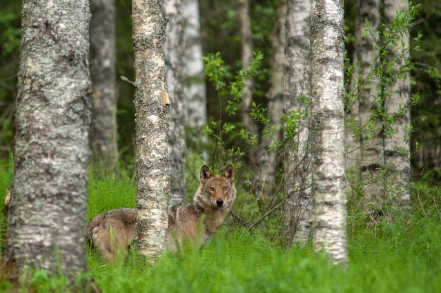 © Loup dans la forêt - Finlande - Sabrina Logeais