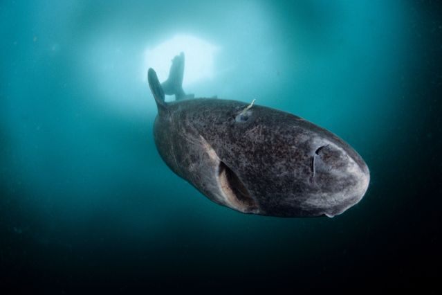 © WaterFrame / Alamy Banque D'Images - Requin du Groenland Somniosus microcephalus - Groenland