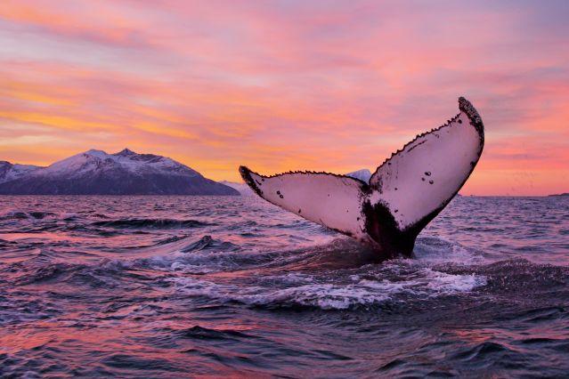 Baleine à Tromsø - Comté de Troms - Norvège