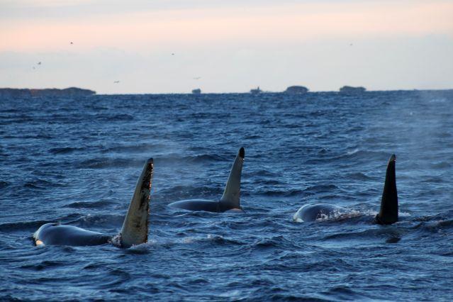 Voyage Baleines et aurores boréales au départ de Tromsø