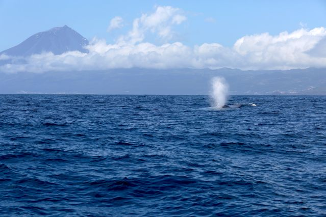 © MICS Richard Sears - Baleine au large de l île Pico - Açores - Portugal