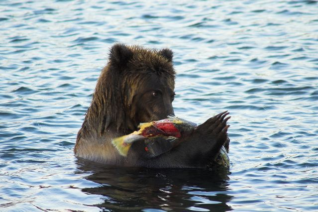 Observation des ours - Russie