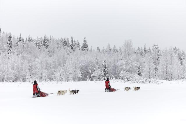 © Traîneau à chiens - Laponie - Suède - Alexandre Lamoureux
