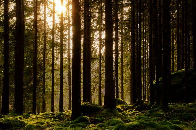 Forêt - Suède
