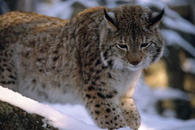 Voyage A ski sur les traces des lynx en Laponie suédoise