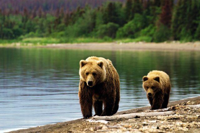 Ours Bruns - Alaska - Etats-Unis