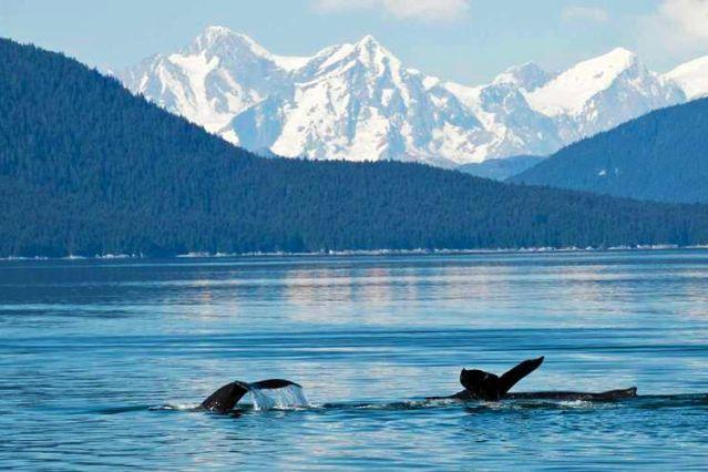 Baleine à bosse - Alaska - Etats-Unis