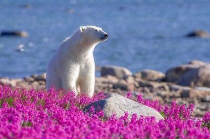 Odyssée au royaume des ours polaires