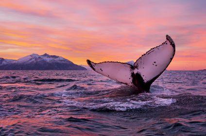 Baleines et aurores boréales au nord de Tromsø