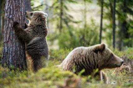 Baïkal, terre des ours