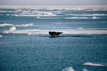 Vers la banquise : baleine boréale et ours polaire