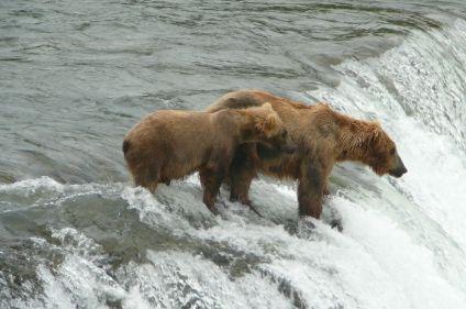 Les grizzlis d'Alaska aux chutes de Brooks